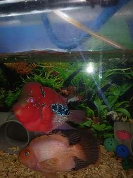 Ikan lohan bosai