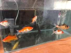Ikan hias borongan