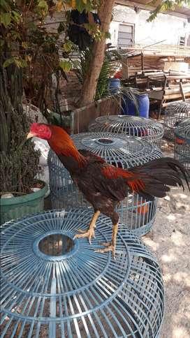 Ayam birkok usia 8bln smpai 1.5 th
