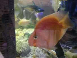 Parrot fish for sale 5inch pairs