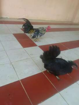 Ayam kate sepasang blorok