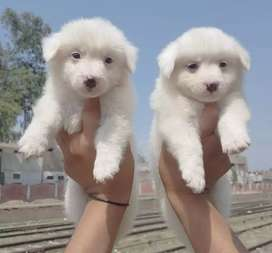 Pure Russian pair age 65 days