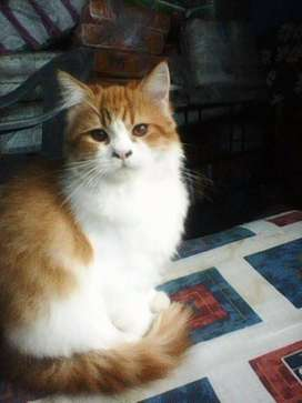 Rare White and Brown Persian  Cat