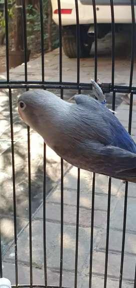 Lovebird induk resmi