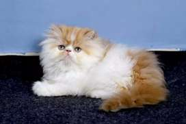 Available available Persian kitten available