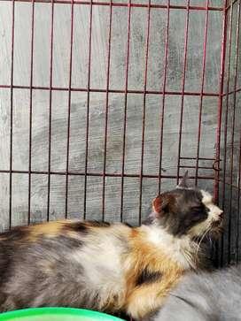 Kucing calico positif hamil 1bulan