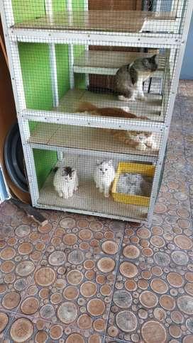 Dijual 1 paket kucing persia jantan dan betina dan 2 kitten