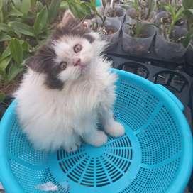 Kucing kitten persia flat nose KAYAK PUNYA PONI calico 2 bulan