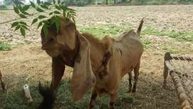 18 mnths old very healthy and heavy weight Bakra. 55kg Brown color