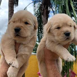 Golden retriever puppies available for bookings from imported parents