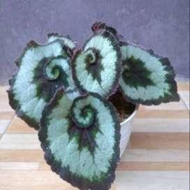 Tanaman Hias Begonia keongg