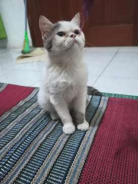 Kucing exotic shorthair flatnoise