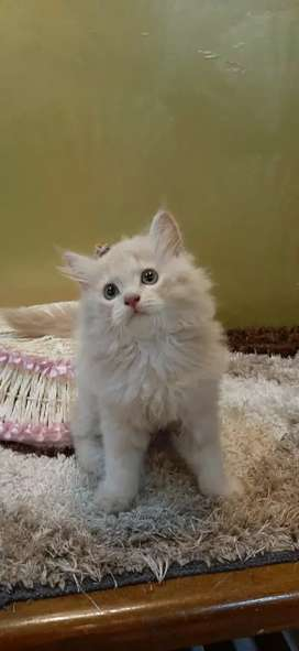 Beautiful and  healthy Persian Kittens are available.