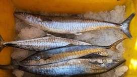 Ikan Tenggiri Fresh langsung dari Nelayan