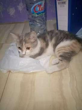 Nego tipis.. Kucing persia betina usia 4 bln