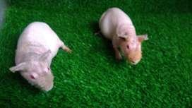 Marmut Hias Skinny / skinny Guinea Pigs