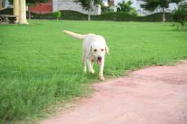 Labrador Dog Male full healthy and strong dog