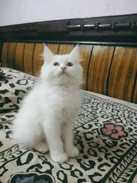 Show quality Persian baby