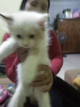 Kucing Persia mix regdol