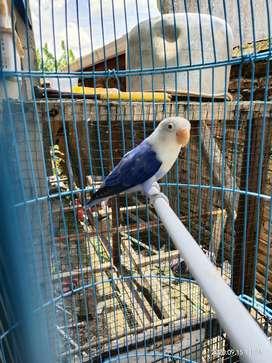 Lovebird Biola Violet Cantik