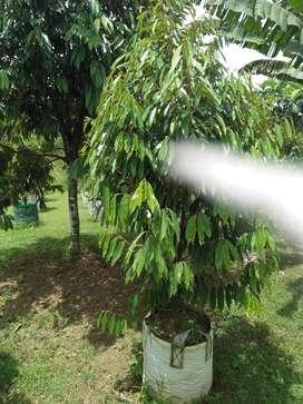 Bibit Durian  Mu san king Rp 2jt.