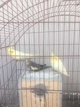Beautiful and healthy cocktail 1 pair yellow and one gray mada 4 sale