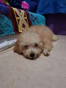 Anak anjing poodle