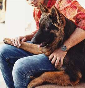 Stud of black face German shepard NOT FOR SALE ONLY FOR MATING