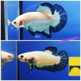 Ikan cupang blue rim sepasang line thailand