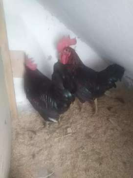 australorp morgha male 6 month old health and active