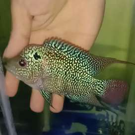 Louhan Cencu size 12 cm