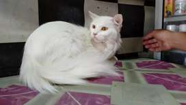 Kucing persia whitesolid proven