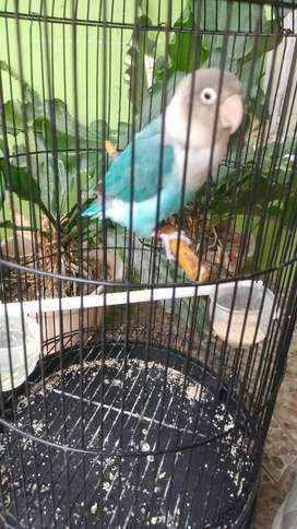 Lovebird mangsi prestasi