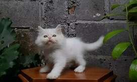 kucing persia medium jantan whitesolid lucu menggememaskan