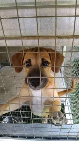 Dijual Anak Anjing Bogor Sepasang