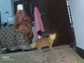 Male Persian Cat Short Tail