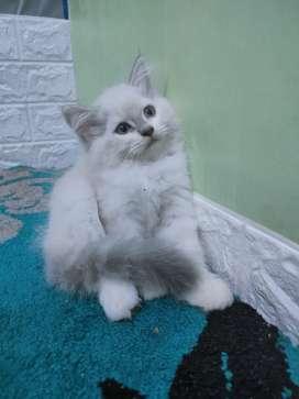 Kucing kitten Himalaya betina lucu cantik