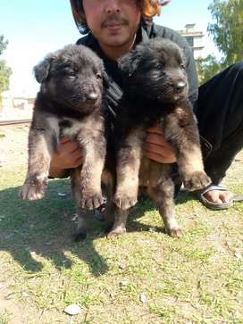 German Shepherd dubble pair 35 day for sale