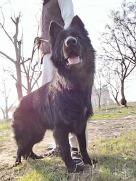 Black GSD only for stud,1.8 year age, fully vaccinated & dewaormed