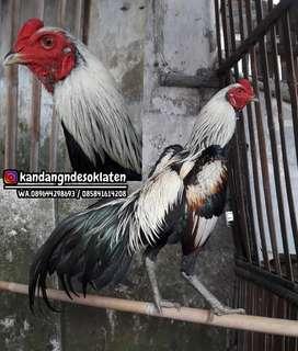 Ayam pamangon ninja blood line