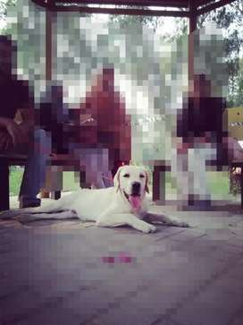 White Labrador (8 months) male baby