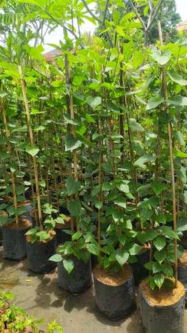 Tumbergia putih, tumbergia ungu,tanaman rambat, tanaman hias