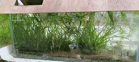 vallisneria aquarium plant