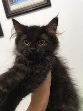 Kucing persia med betina umur 3,5 bulan