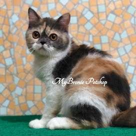 Kucing british shorthair BSH betina calico