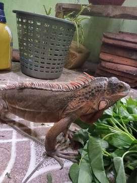 Iguana kura brazil
