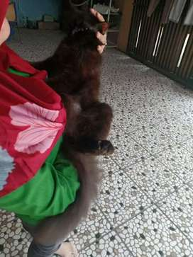 Kucing Persia medium gemuk sehat