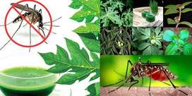 Papaya Leafs For Dengue Virus Dieases for making White Blood cells