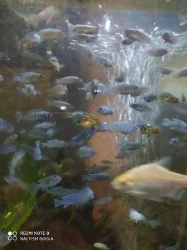 Ikan lambordoi chiclid biru cakep