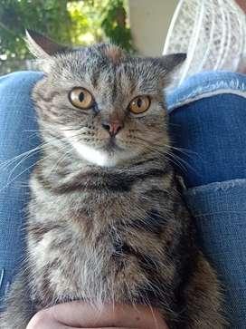 Di over adop kucing Persia Exo siap kawin umur 1 tahun